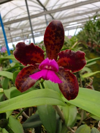 Cattleya Leopoldii 'Dark Prince' - Adulta