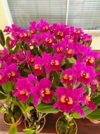 Blc. Sunset Color Chart 'Red Rose' - Adulta