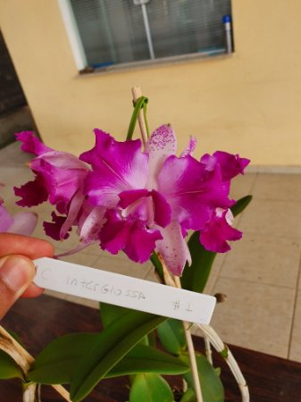 Cattleya Interglossa #1 - Planta Unica