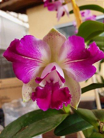 Cattleya Interglossa #5 - Planta Unica