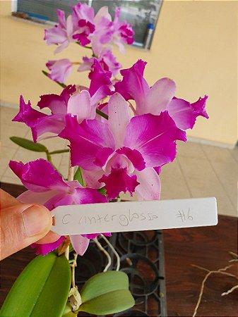 Cattleya Interglossa #6 - Planta Unica