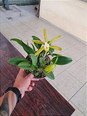 Cattleya Araguaiensis Alba - Planta Unica