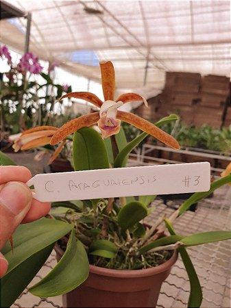 Cattleya Araguaiensis #3 - Planta Unica