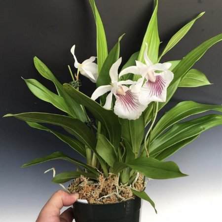 Cochleanthes Amazonica - Pre Adulta