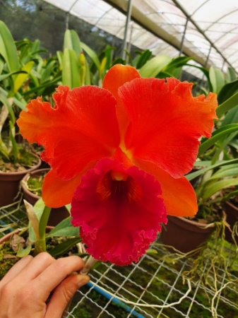 "Blc. Mirian Suzuki ""Red Crab"" - Adulta"