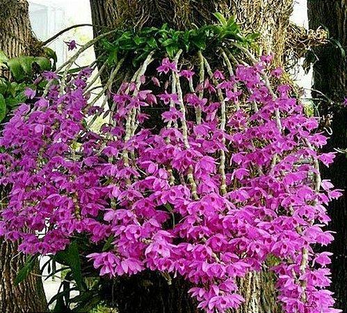 Dendrobium Anosmum Tipo - Tamanho 3