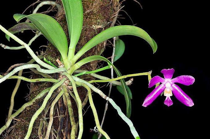 Phalaenopsis Pulchra - Pre Adulta