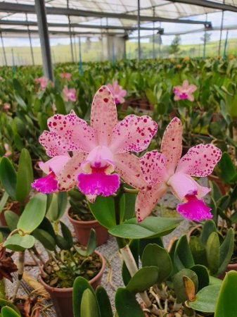 Blc. Durigan - Adulta