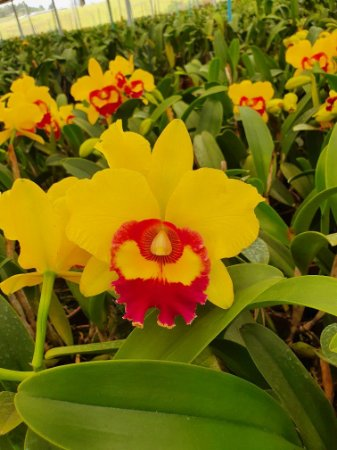 "Blc. Chunyeah ""Yellow Swallow"" - Adulta"