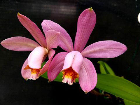 Cattleya Venosa - Adulta