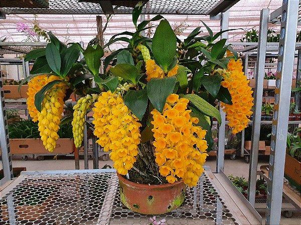 Dendrobium Densiflorum - Pre Adulto