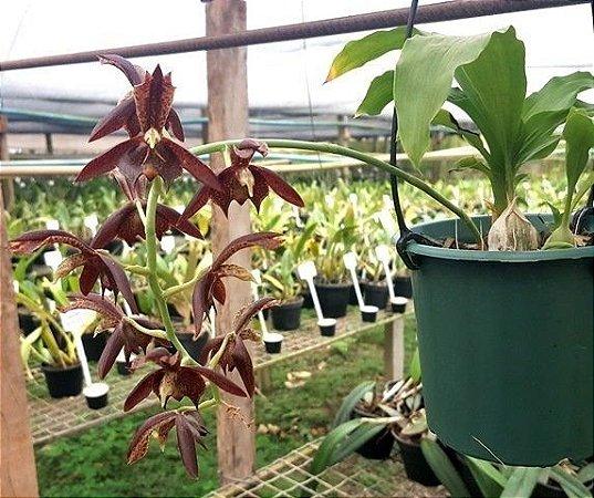 Catasetum Cernum - Adulto
