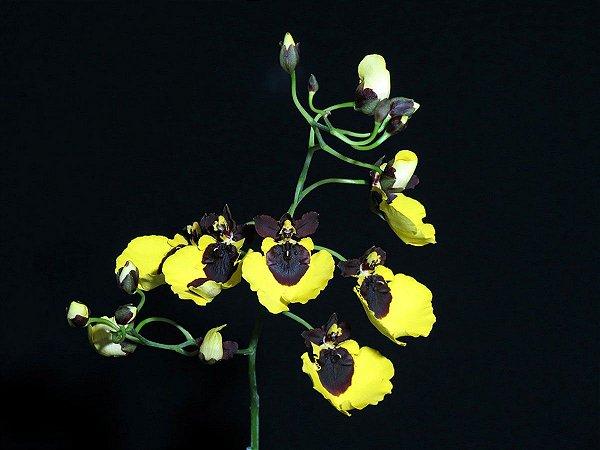 Oncidium Varicosum Baldin - Adulto