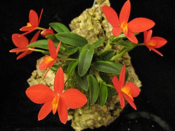 Sophronitis Pygmaea na Placa - Adulta