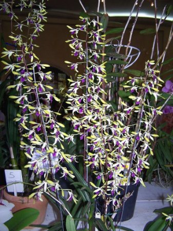 Dendrobium Pixie Princess - Adulto