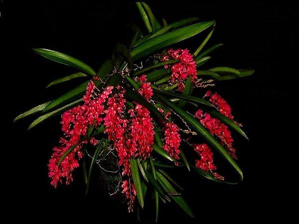 Rodriguezia Lanceolata - Pre Adulta