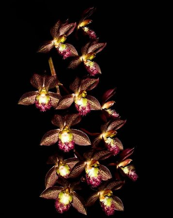 Catasetum Saccatum x Clowesia Kengar - Adulto