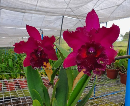 Blc. Suzuki's Colossus 'Red Wine' - Adulta