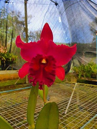 Blc. (Floralia's Triumph x Amy Wakasugi) - Adulta