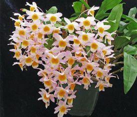 Dendrobium Rosy Cluster - Pré Adulto
