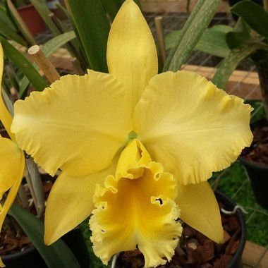 Blc. Delta King 'Tangerglow' - Pré Adulta
