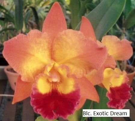 Blc. Exotic Dream - Pré Adulta