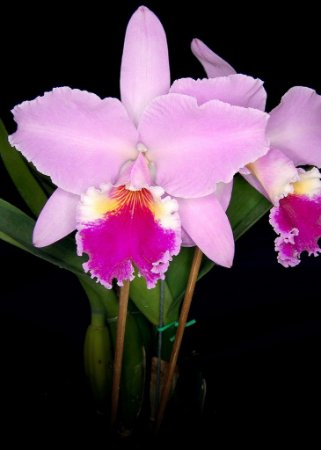 Cattleya Labiata - Tamanho 3