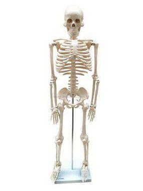 Modelo Anatômico do Esqueleto 85cm