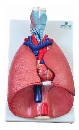 Modelo Anatômico do Sistema Respiratório - 7 partes