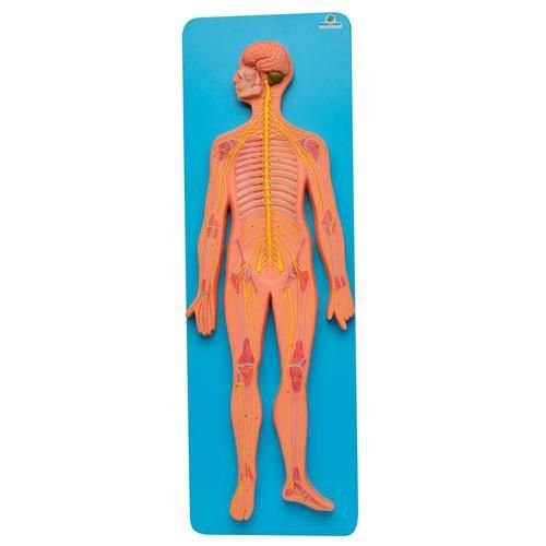 Modelo em Prancha do Sistema Nervoso Central e Periférico