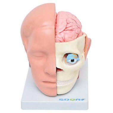 Modelo anatômico da Cabeça 10 partes com cérebro