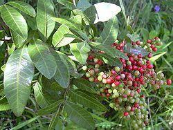 Aroeira folha - Schinus terebinthifolius