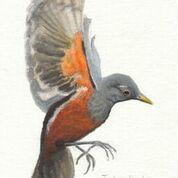 Imã pequeno - Sabiá-laranjeira voando