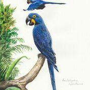 Imã pequeno - Arara-azul