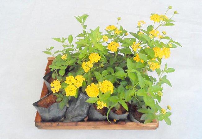 Lantana Amarela (Caixa com 15 unidades)