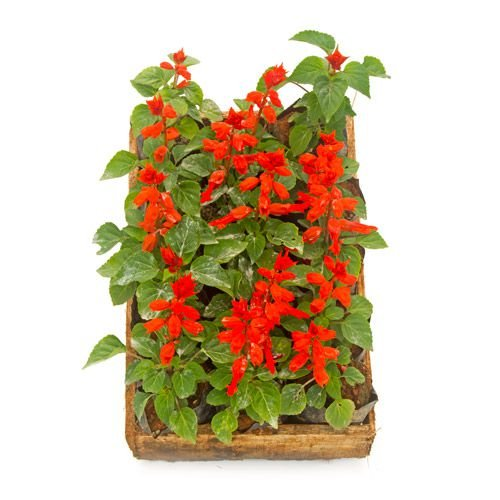 Salvia Anã