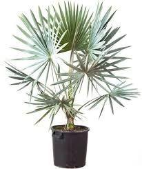 Palmeira Bismarckia