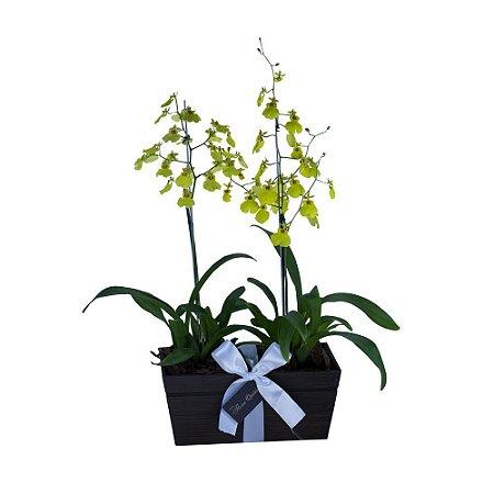 Caixa Dupla de Orquídeas Chuva de Ouro
