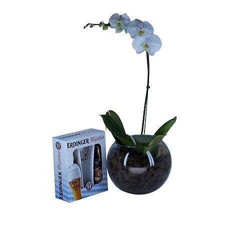 Phalaenopsis com Erdinger