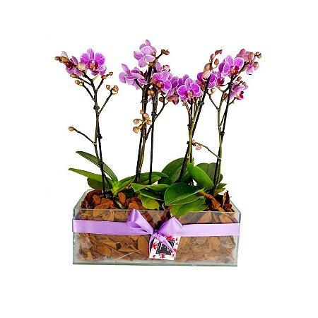 Trio de Mini Orquídea Phalaenopsis