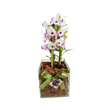 Orquídea Dendrobium no Vidro