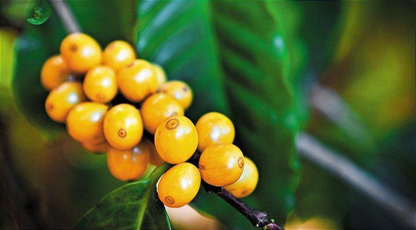Muda de Café Catucai Amarelo - Livre de Agrotóxico