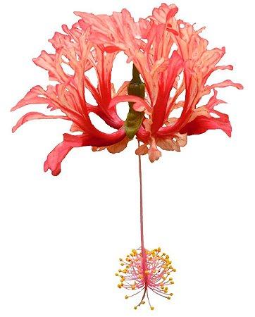 Hibisco Salmão Brinco de Princesa- Muda com 70cm