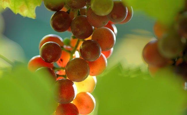 Uva Moscatel (rosada) - muda com 70cm