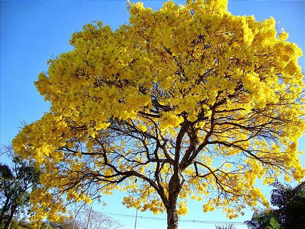 Ipê Amarelo - 1 Muda Grande
