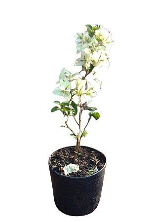 Bougainvillea / Primavera - 1 Muda já florindo - Branco