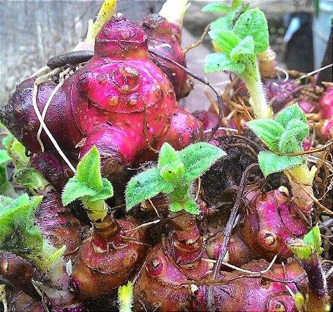 Batata Yacon (5 rizomas) - Cultivo livre de agrotóxicos