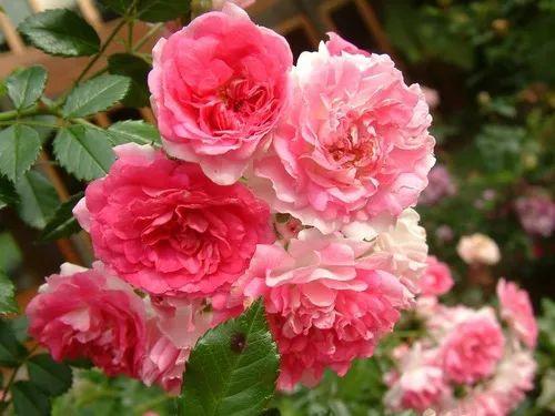 Mini Rosa Trepadeira - 1 muda cor rosa