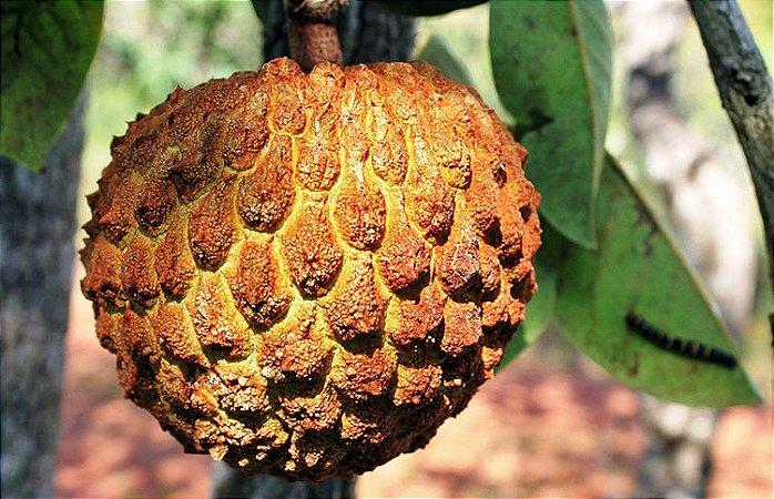 Araticum - 1 Muda Média - Cultivo Livre de Agrotóxicos
