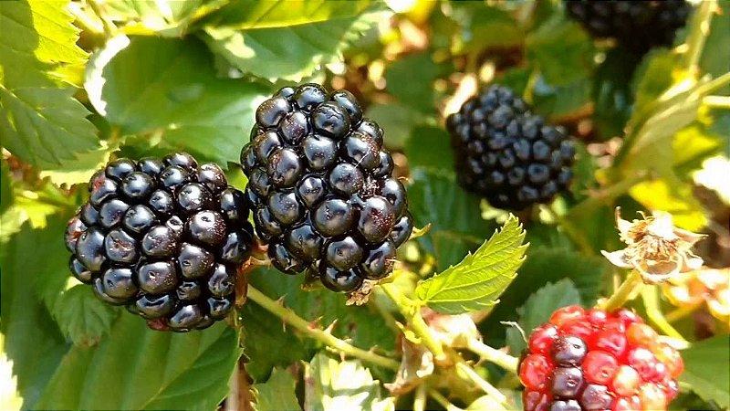Amora Rubus - Mudas De Blackberry - Próxima de Produzir